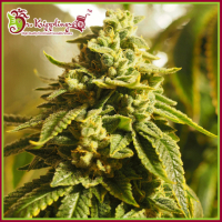 Glue Kripple Feminised Cannabis Seeds – Dr Krippling
