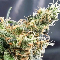 Glueberry Feminised Cannabis Seeds | Expert Seeds