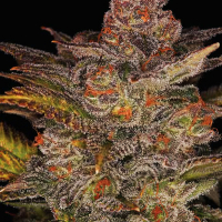 Glueberry Auto Feminised Cannabis Seeds | Expert Seeds