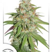Glueberry OG Feminised Cannabis Seeds | Dutch Passion