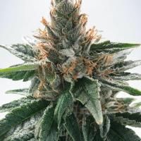 God's Glue Feminised Cannabis Seeds | Ministry of Cannabis