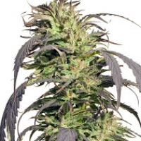 Gold Rush Outdoor Feminised Cannabis Seeds | Spliff Seeds