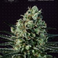 Goldenberry Feminised Cannabis Seeds
