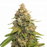 Golden Lemon Haze Feminised Cannabis Seeds | Seed Stockers