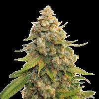 Golden Lemon Haze Feminised Cannabis Seeds   Seed Stockers