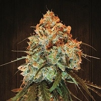 Golden Tiger Regular Cannabis Seeds | Ace Seeds