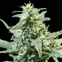 Golden Haze Feminised Cannabis Seeds | Devil's Harvest Seeds