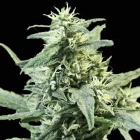 Golden Haze Feminised Cannabis Seeds   Devil's Harvest Seeds