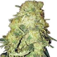 Gold Mine Feminised Cannabis Seeds | Heavyweight Seeds