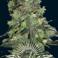 Goliath Auto Feminised Cannabis Seeds | 7 Dwarf Seeds