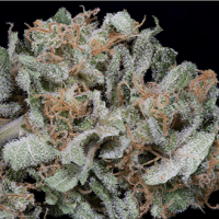 Gorilla Cookies Feminised Cannabis Seeds | Big Head Seeds