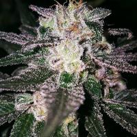 Gorilla Cookies Feminised Cannabis Seeds | Expert Seeds
