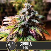 Gorilla Glue #4 Feminised Cannabis Seeds | Blim Burn America