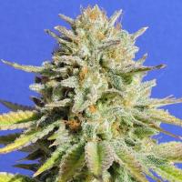 Gorilla Glue #4 Feminised Cannabis Seeds   Original Sensible Seeds