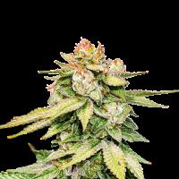 Gorilla Glue Auto Feminised Cannabis Seeds | Seed Stockers