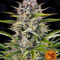 Gorilla Zkittlez Auto Feminised Cannabis Seeds | Barney's Farm