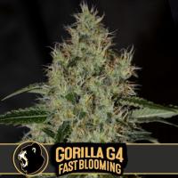 Gorilla Glue #4 Fast Feminised Cannabis Seeds | Blimburn Seeds