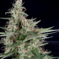 Grandaddy Banner Feminised Cannabis Seeds | Big Head Seeds