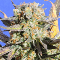Grandaddy Black Feminised Cannabis Seeds | Original Sensible Seeds