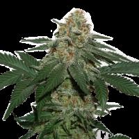 Grandaddy Confidential Kush Feminised Cannabis Seeds   Seed Stockers