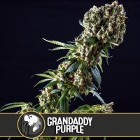 Grandaddy Purple Feminised Cannabis Seeds | Blim Burn Seeds