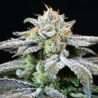 Grape Inferno Regular Cannabis Seeds | TGA Seeds