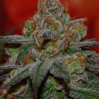 Grape Lime Ricky Regular Cannabis Seeds | TGA Seeds