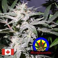 Grapeskunk Regular Cannabis Seeds | Next generation Seeds
