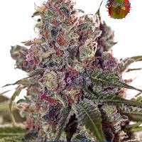 Grapefruit Feminised Cannabis Seeds | Positronics