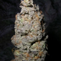 Grapegod Feminised Cannabis Seeds | Next Generation Seeds