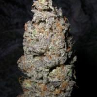 Grapegod Regular Cannabis Seeds | Next Generation Seeds