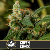 Green Crack Feminised Cannabis Seeds | Blim Burn America