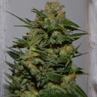 Green Crack Feminised Cannabis Seeds | Garden of Green