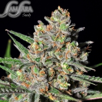 Green Love Potion Feminised Cannabis Seeds