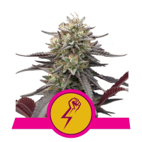 Green Punch Feminised Cannabis Seeds | Royal Queen Seeds