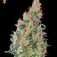 Green-O-Matic Autoflowering Feminised Cannabis Seeds | Green House Seeds