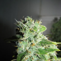 Frosty Kush Feminised Cannabis Seeds | GreenLabel Seeds
