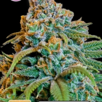 Greengo Bio Haze Feminised Cannabis Seeds | Kera Seeds