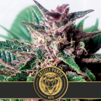 Grizzly Purple Auto Feminsed Cannabis Seeds | Blim Burn Seeds