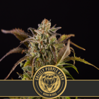 Grizzly Purple Kush Feminised Cannabis Seeds | Blim Burn Seeds