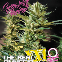 Amnesia (The Real) XXL Auto Feminised Cannabis Seeds - Growers Choice