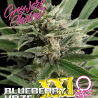 Blueberry Haze XXL Auto Feminised Cannabis Seeds - Growers Choice