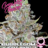 Bubblegum x Fat Hog Feminised Cannabis Seeds - Growers Choice