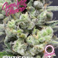 Critical+ Feminised Cannabis Seeds - Growers Choice