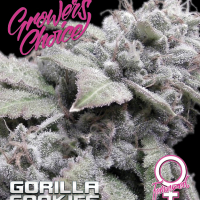 Gorilla Cookies Feminised Cannabis Seeds - Growers Choice