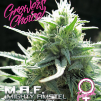 M.A.F. (Mighty Amstel Freezeland) Feminised Cannabis Seeds - Growers Choice