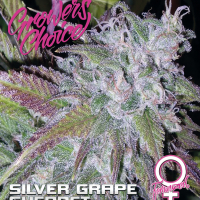 Silver Grape Sherbet Feminised Cannabis Seeds - Growers Choice