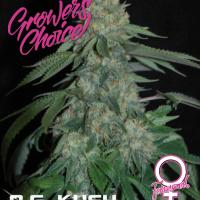 O.G. Kush Feminised Cannabis Seeds - Growers Choice
