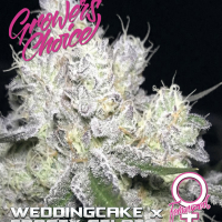 Wedding Cake x Frosty Gelato Feminised Cannabis Seeds - Growers Choice