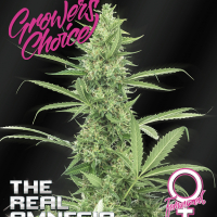 Amnesia (The Real) Feminised Cannabis Seeds - Growers Choice